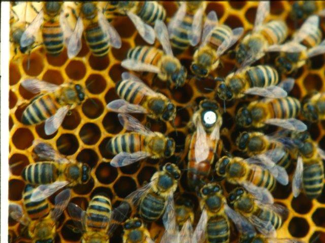 Bijenkoningin kopen